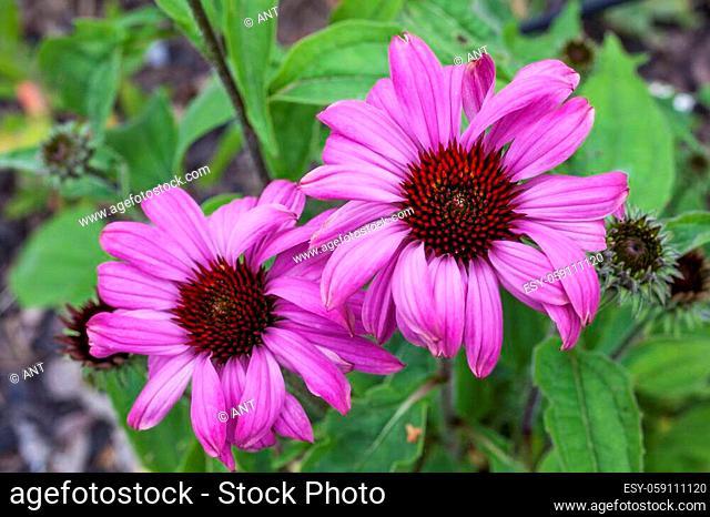 Echinacea purpurea 'Prairie Splendor' an herbaceous pink purple perennial summer autumn flower plant commonly known as coneflower