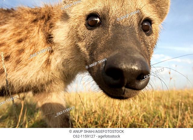 Spotted hyena (Crocuta crocuta) peering with curiosity, Maasai Mara National Reserve, Kenya