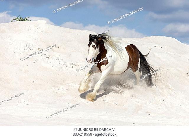 Gypsy Cob. Skewbald stallion galloping on kaolin sand. Poland