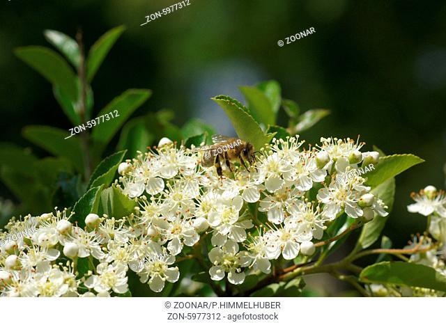Pyracantha coccinea, Feuerdorn, Firethorn, mit Biene
