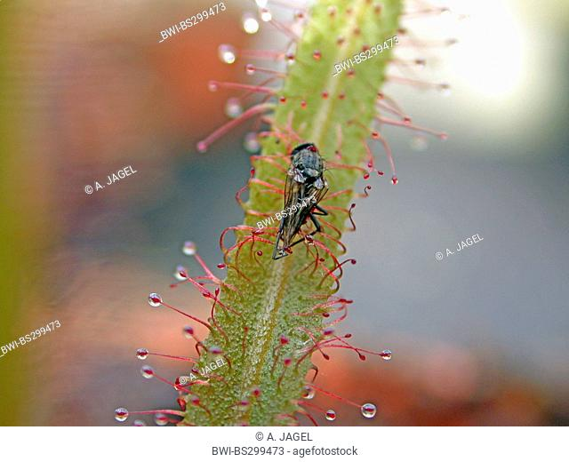 Lance-leaved sundew (Drosera adelae), leaf with caught fly