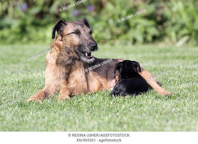Westfalia / Westfalen Terrier, mother suckling puppy, Germany