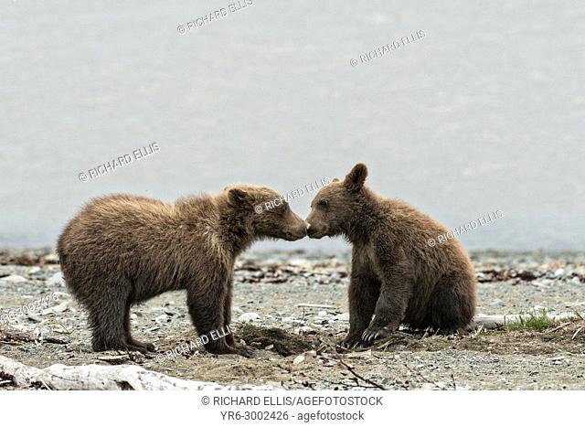 Brown bear spring cubs play fight on the beach along the Cook Inlet at the McNeil River State Game Sanctuary on the Kenai Peninsula, Alaska