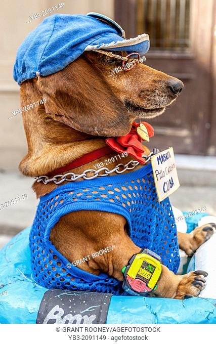 A Dog Performing In A Street Entertainment Show, Havana, Cuba