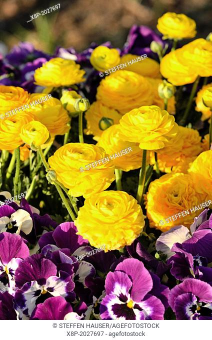 Turban buttercup (Ranunculus asiaticus) and violet (Viola)