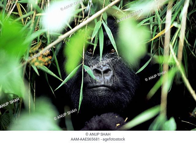 Male Mountain Gorilla amongst vegetation (Gorilla gorilla beringei) Parc du Volcans National Park, Rwanda