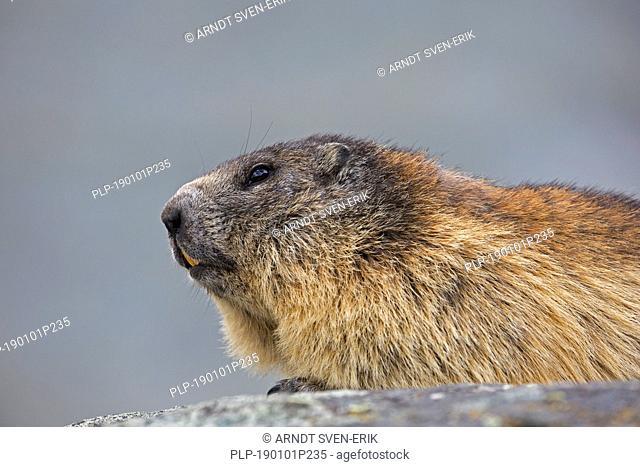 Alpine marmot (Marmota marmota) close-up portrait in summer, Hohe Tauern National Park, Carinthia, Austria