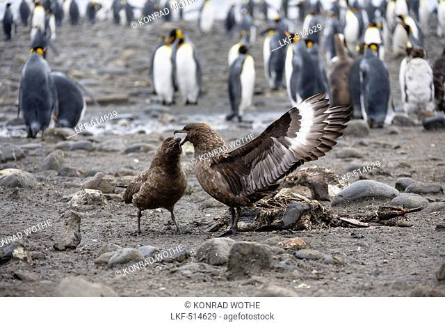 Brown Skuas fighting, Catharacta antarctica, South Georgia, Subantarctic, Antarctica