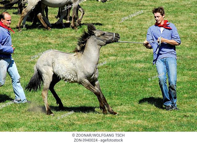 Dülmener Wildhorse