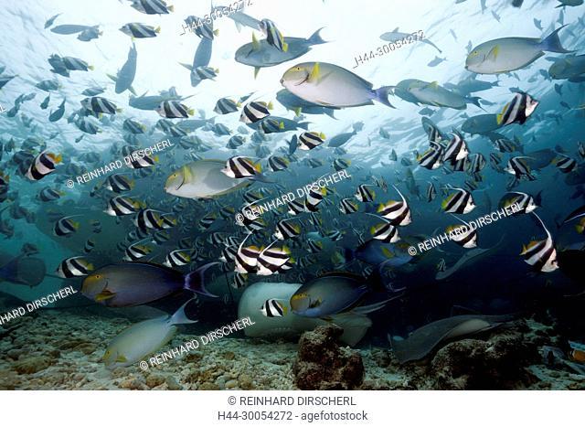 Shoal of Yellowfin Surgeonfish, Acanthurus xanthopterus, North Male Atoll, Maldives