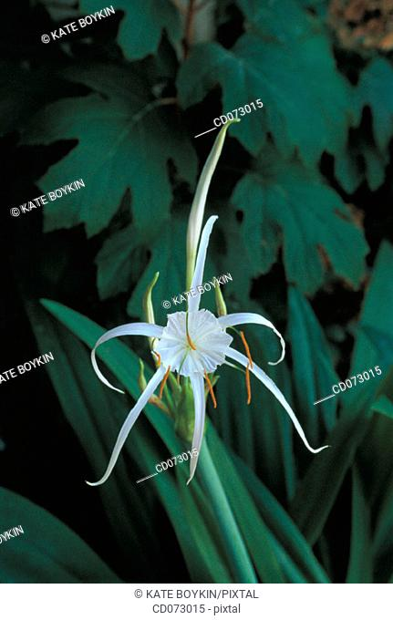 Spider Lily (Hymenocallis imperialis)