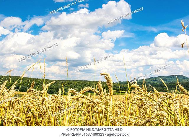 Wheat field between Dankelshausen and Bühren, Samtgemeinde Dransfeld, Göttingen District, Lower Saxony, Germany, summer 2017 / Weizenfeld zwischen Dankelshausen...