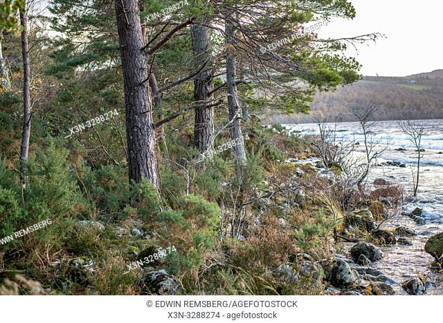 Trees on the bank of Loch Ness in Scotland, United Kingdom