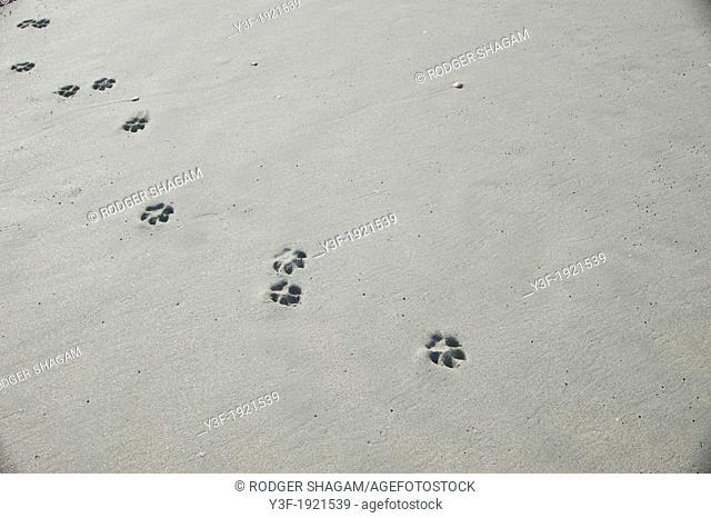 The impression of dog paw prints in beach sand