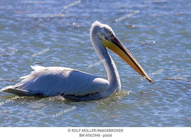 Dalmatian pelican (Pelecanus crispus), Danube, Danube Delta, Danube Delta Biosphere Reserve, Romania