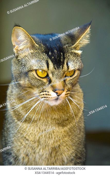 Feline look. Abyssinian cat. Felis silvestris catus. Domestic cat, housecat