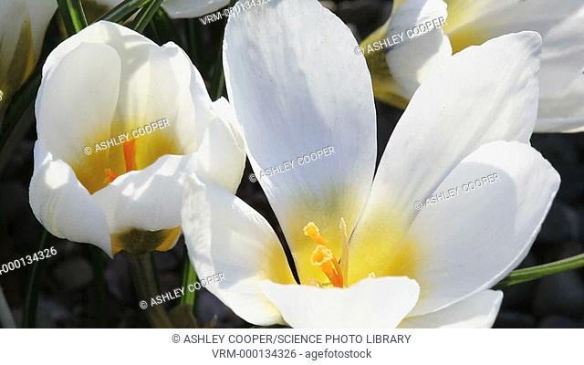 Cultivated Crocus In Holehird Gardens near Windermere in the Lake District in spring, UK