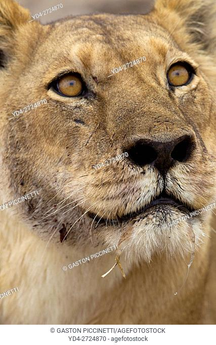 African Lion (Panthera leo) - Female . Savuti, Chobe National Park, Botswana
