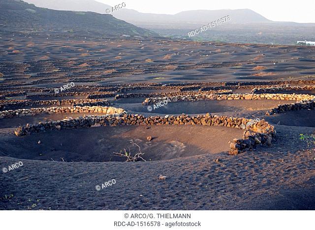 La Geria, Vineyard, Grapevines growing in black volcanic pits, Lapilli ashes, method of dry cultivation known as enarenado, La Geria wine area, Lanzarote