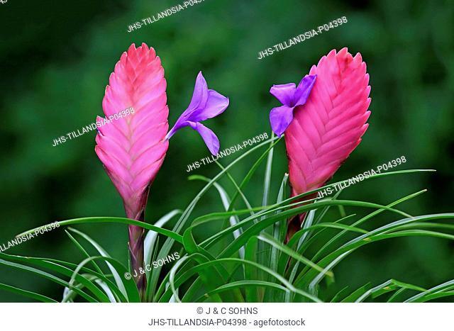 Tillandsia, (tillandsia cyanea), bloom, blooming, Germany, Europe