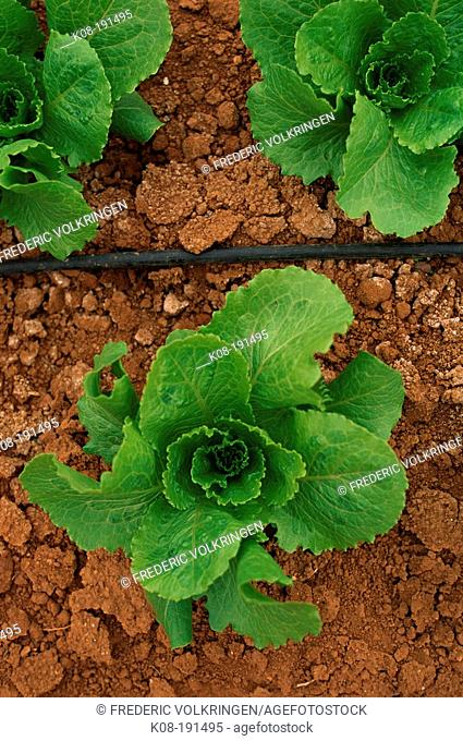Lettuces and drip irrigation
