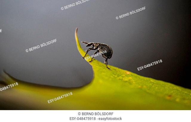 a weevil on a leaf