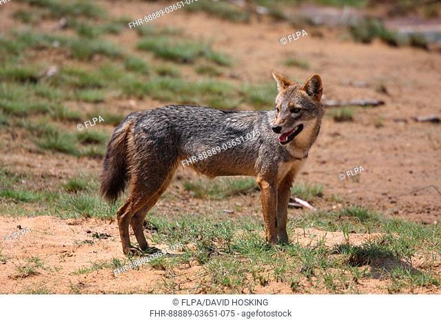 golden or asiatic jackal