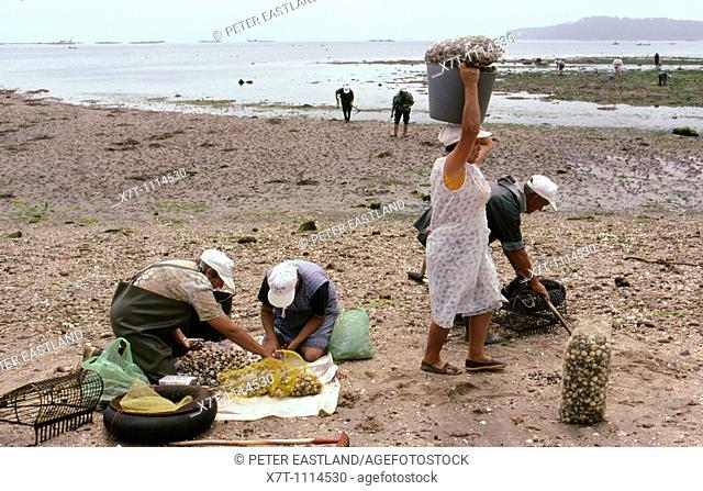 Workers checking their catch after digging for 'berberichos' cockles in the Ria de Arousa at A Pobra do Caraminal, Galicia, North-West Spain