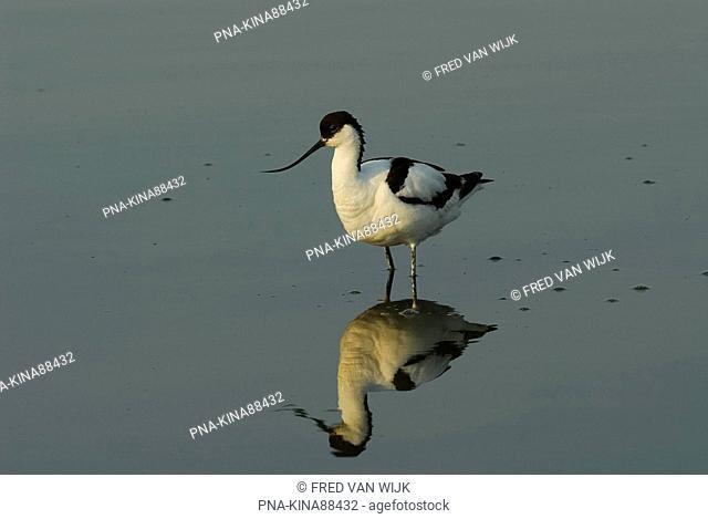 Pied Avocet Recurvirostra avosetta - Wagejot, Texel, Wadden islands, North Holland, The Netherlands, Holland, Europe