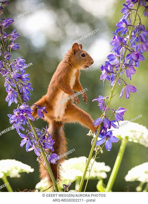 Cute red squirrel standing between delphinium flowers