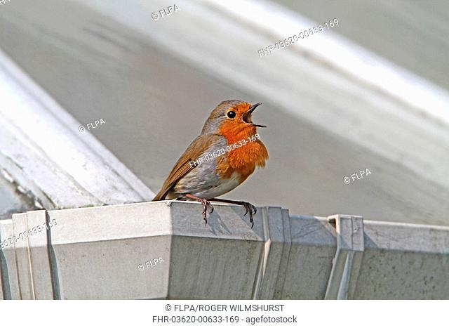 European Robin Erithacus rubecula adult, singing, perched on conservatory gutter, West Sussex, England, february