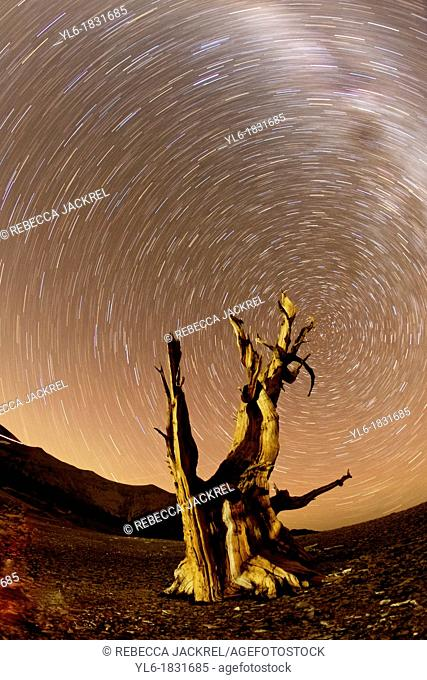 Star trails and the Milky Way above an Ancient Bristlecone Pine tree