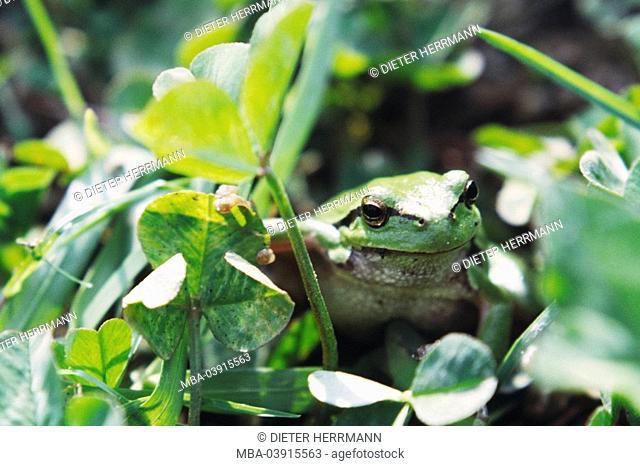 Foliage-frog, Hyla arborea, clover, nature, Wildlife, animal, wild animal, amphibian, Amphibia, amphibian, frog-amphibian, Anura, Hylidae, green-frog, frog