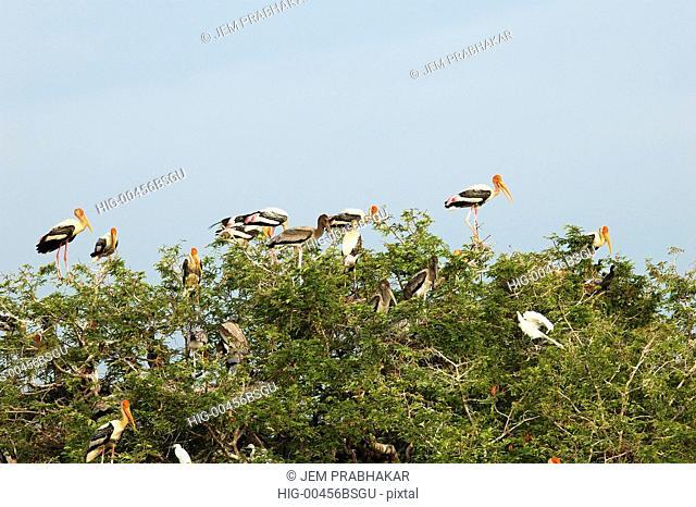 PAINTED STORKS IN KOONTHAKULAM BIRD SANCTUARY NEAR TIRUNELVELI, TAMILNADU, INDIA