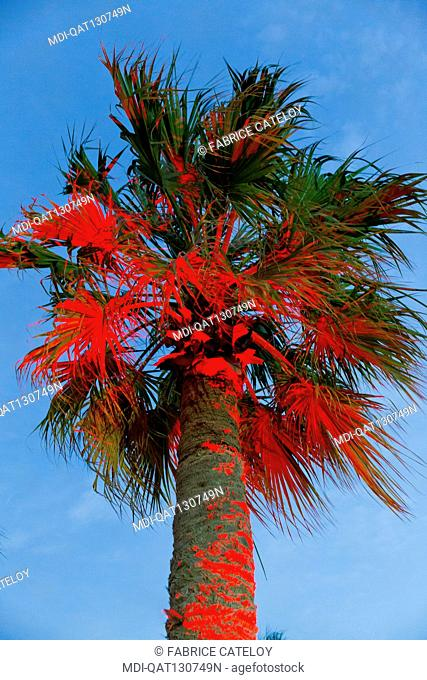 Qatar - Sealine coast - Palm tree illuminated by a red light in the Sealine Beach Resort between dunes and sea