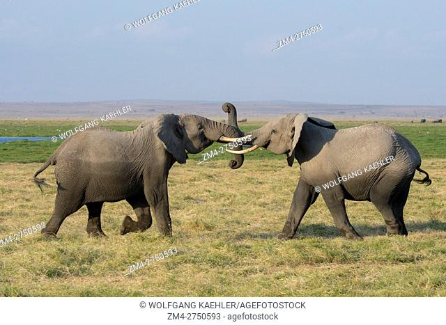 African elephants (Loxodonta africana) play-fighting in Amboseli National Park in Kenya