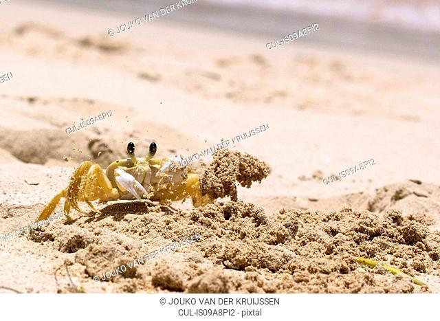Ghost Crab (Ocypode quadrata), Las Terrenas, Samana, Dominican Republic