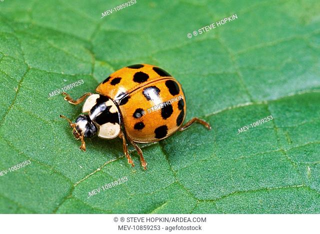 Harlequin LADYBIRD (Harmonia axyridis). Orange with black spots form. The Harlequin is a voracious predator and easily out competes our native ladybirds for...