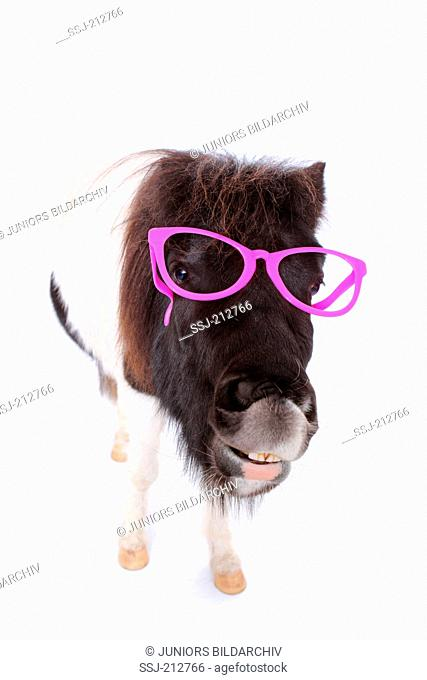 Shetland Pony. Portrait of piebald mare wearing pink glasses, doing the flehmen. Studio picture against a white background. Germany