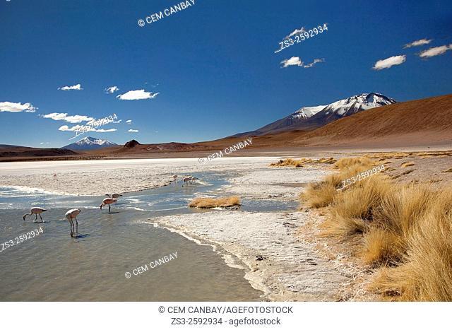 Flamingos at the Laguna Canapa lagoon on Salar Uyuni salt desert, Bolivia, South America