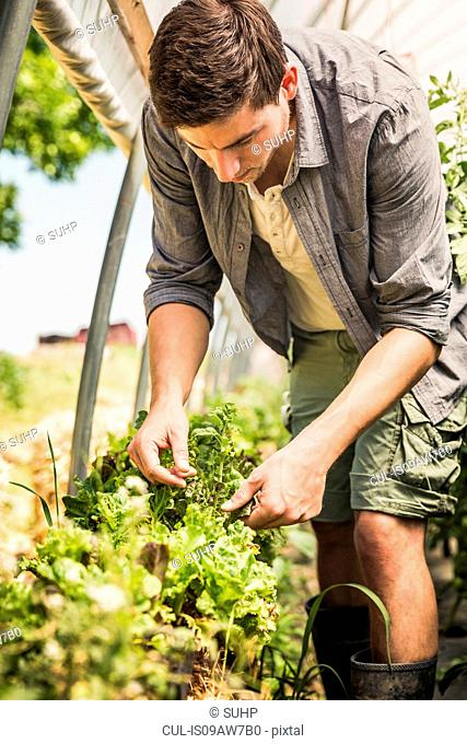 Man in polytunnel quality checking vegetables