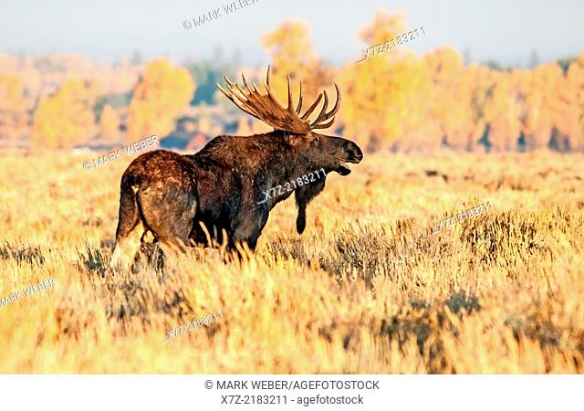 Tetons, Bull moose on Antelope Flats near the Gros Ventre River in Grand Teton National Park in northern Wyoming