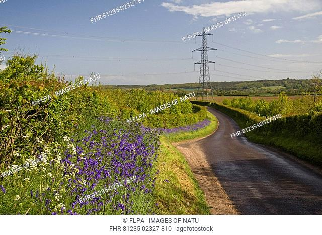 Rural road with Bluebell Endymion non-scriptus flowering on verge beside hedgerow, with distant pylons, Woodsford, Dorset, England, spring