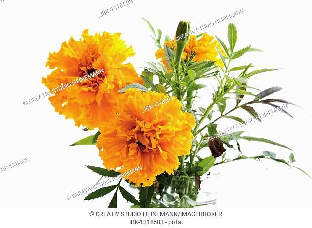 Orange-yellow marigolds