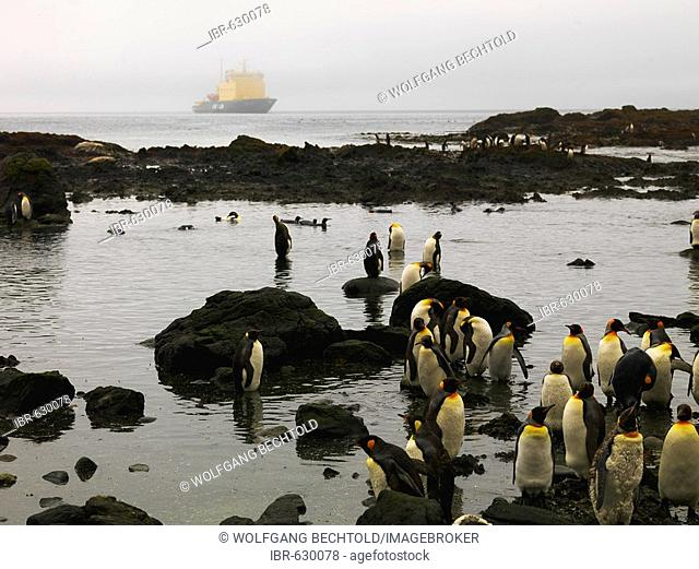 A group of King Penguins (Aptenodytes patagonicus) with the ice breaker Captain Khlebnikov, Macquarie Island, Australia, Antarctic