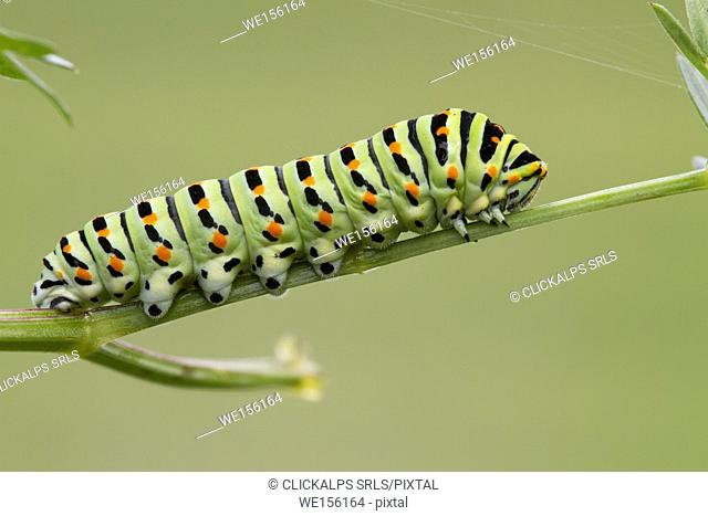 Macro photography of the Papilion Machaon caterpillar. Lombardy, Italy