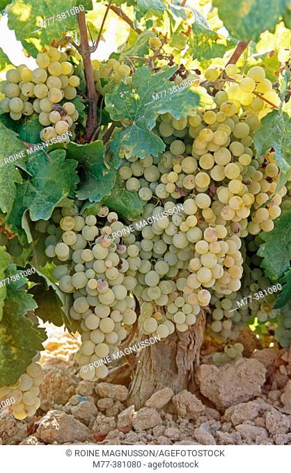 Grapes.  Zafra. Badajoz province, Spain