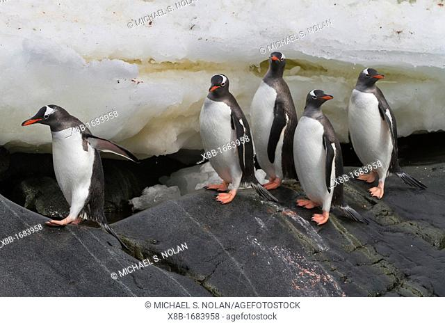 Adult gentoo penguins Pygoscelis papua returning and coming from the sea at Booth Island, Antarctica, Southern Ocean