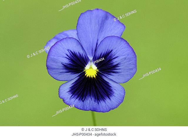 Viola , Pansy , Viola cornuta , Germany , Europe , bloom