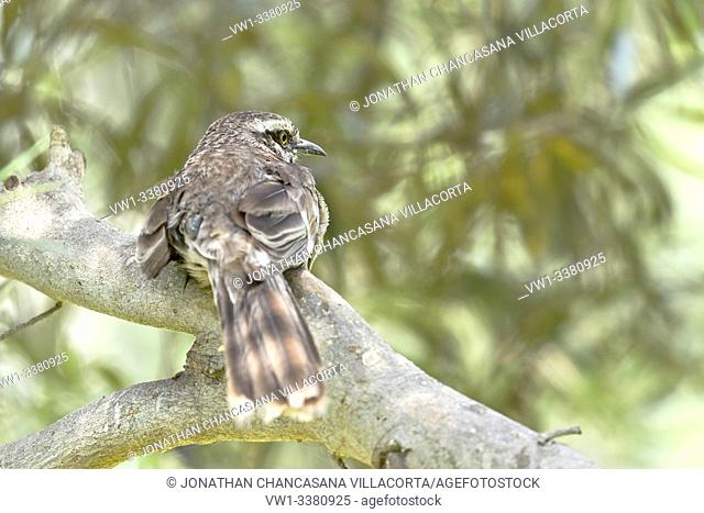 Long-tailed mockingbird (Mimus longicaudatus) perched on branches of its natural environment. lima - Perú